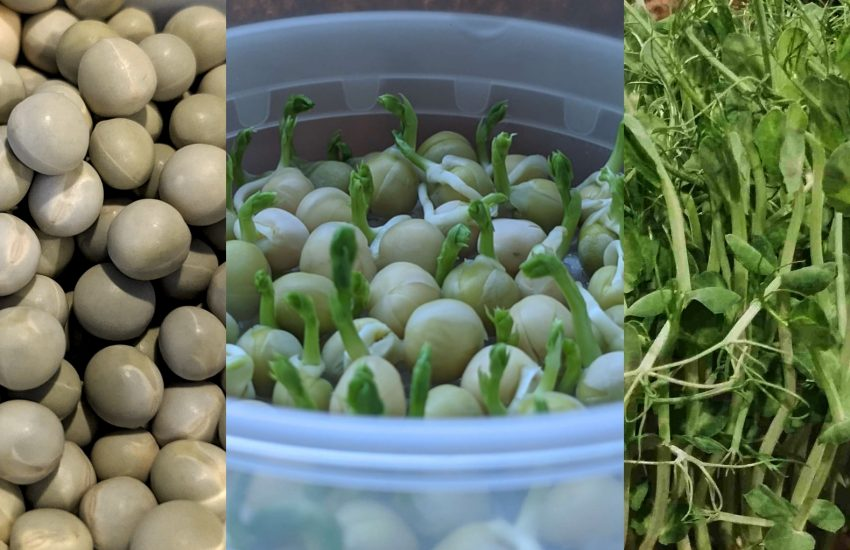 growing pea shoots at home