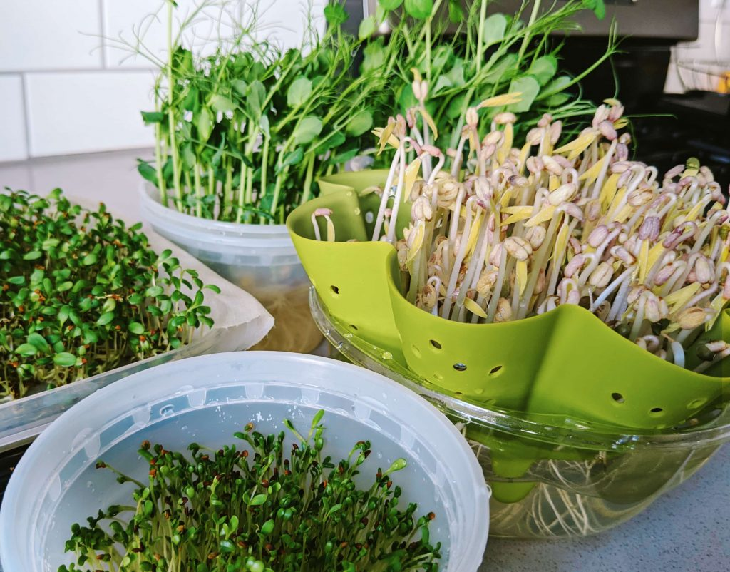 growing microgreens at home, peas, bean sprouts and alfalfa sprouts